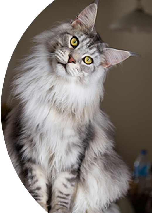 Lucky Pet Maine Coon cat breed